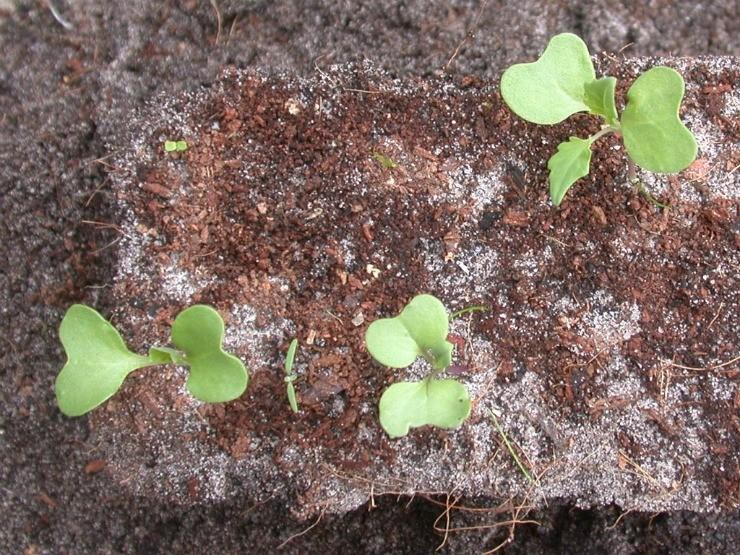 сеянцы кольраби
