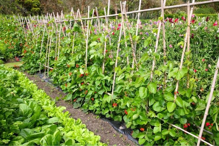 смешанные посадки разных по высоте овощей