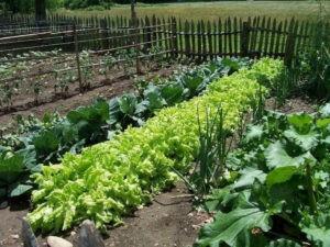 совместные посадки овощей