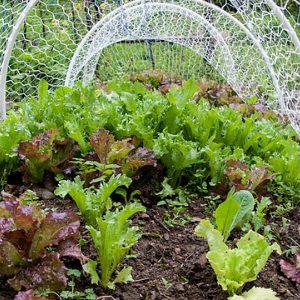 выращивание салата под сеткой