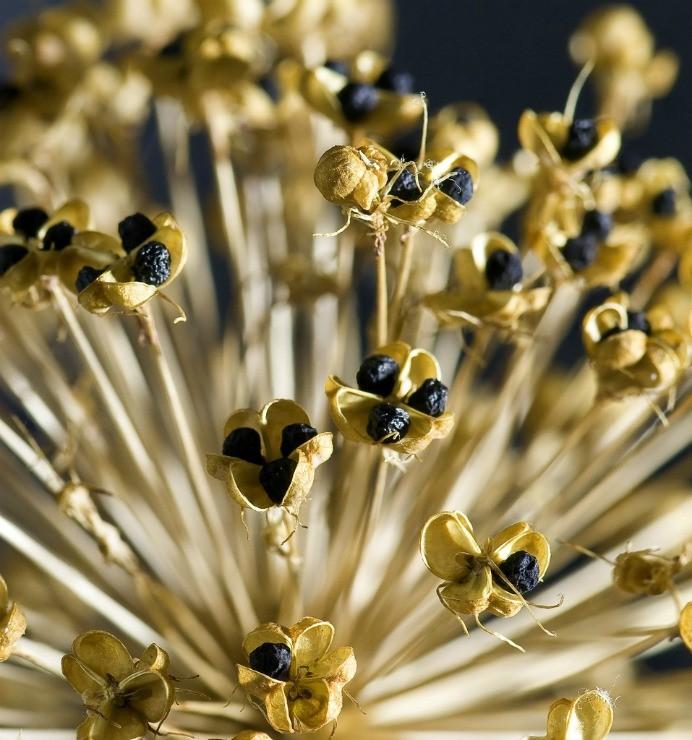 зрелые семена лука