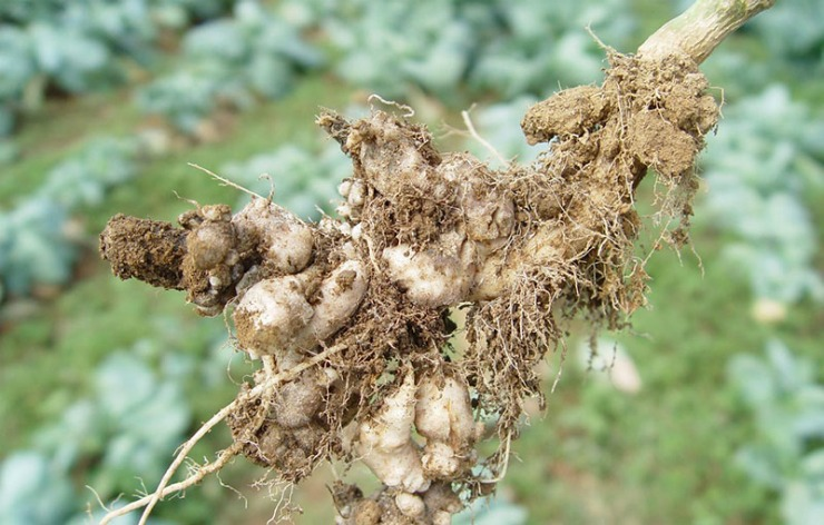 кила на корнях капусты