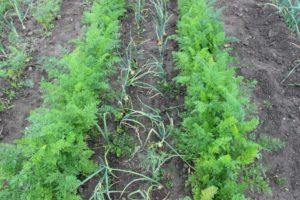 лук и морковь на одной грядке
