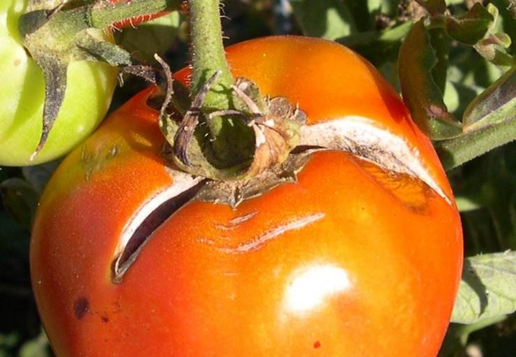 плод томата с трещинами