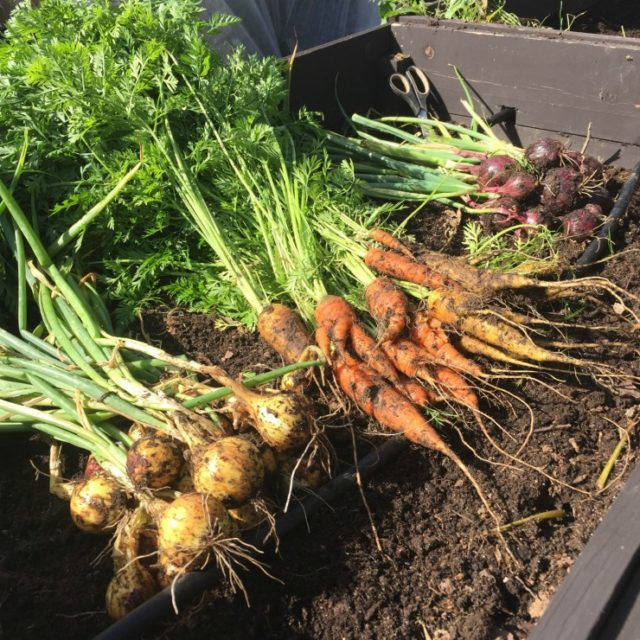 урожай лука и моркови