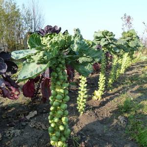 выращивание брюссельской капустой