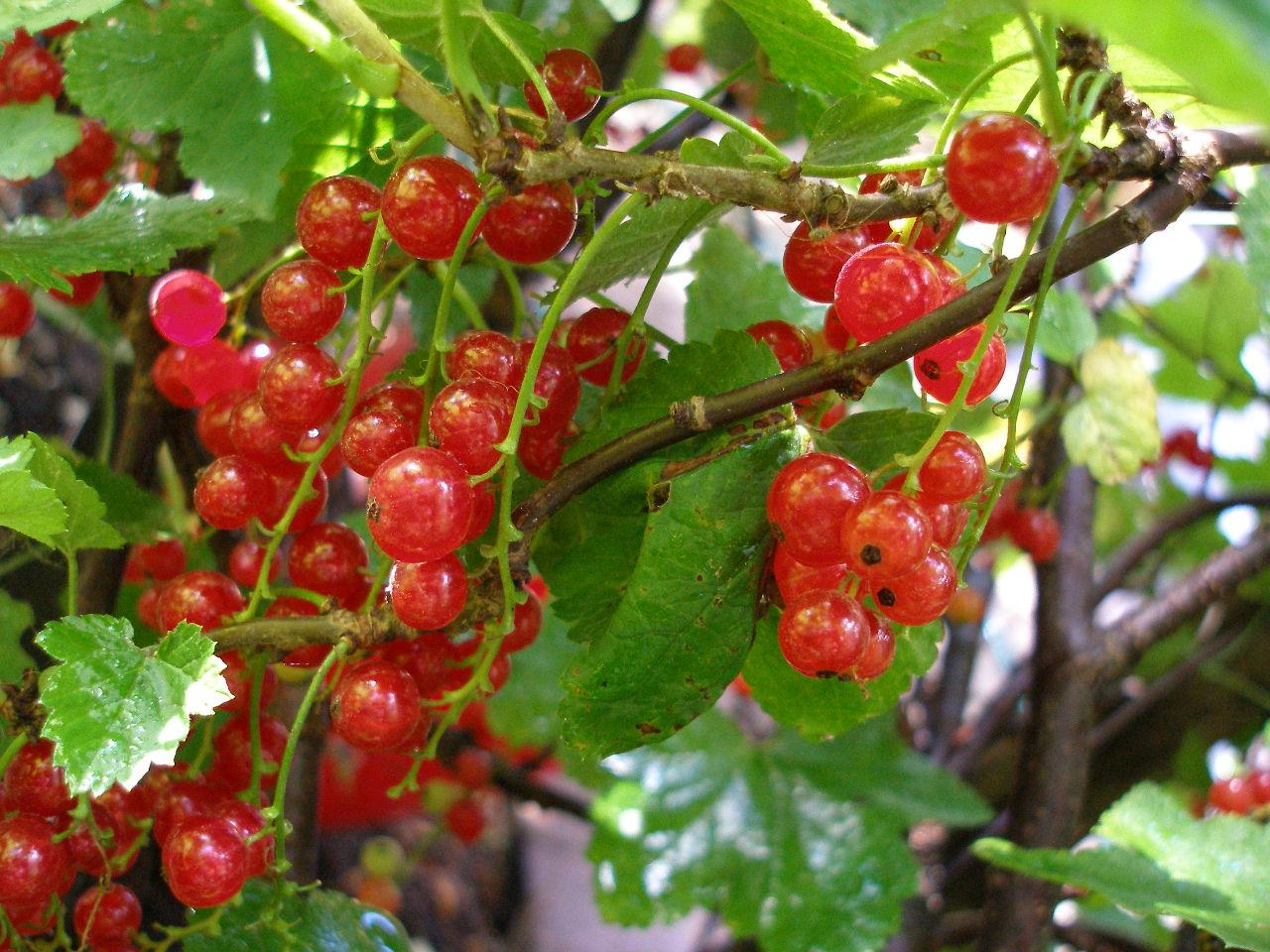 Особенности выращивания и ухода за красной смородиной