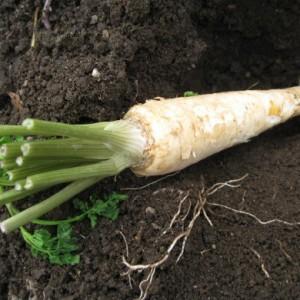 сорта корневой петрушки