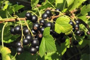 растение черной смородины