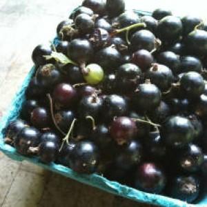 черная смородина урожай
