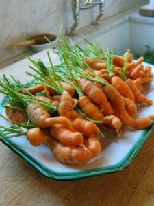 почему морковь вырастает рогатой