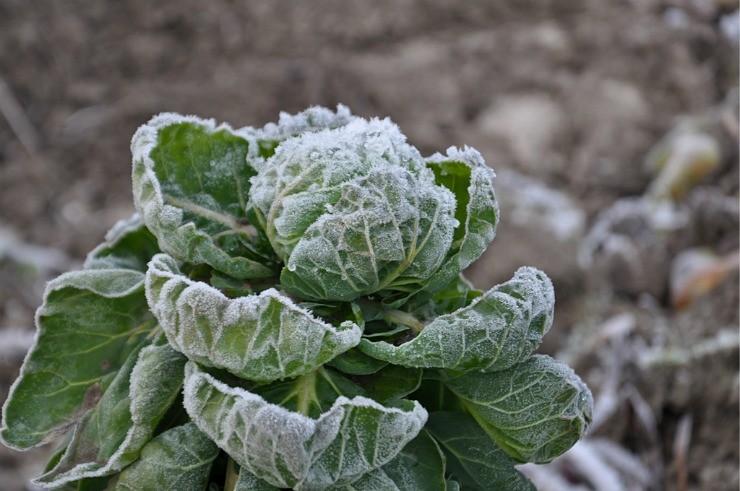 капуста брюссельская на грядке зимой
