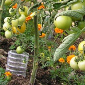 полив томатов из пластиковых бутылок