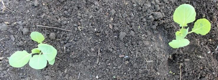 высадка рассады брюссельской капусты на грядку
