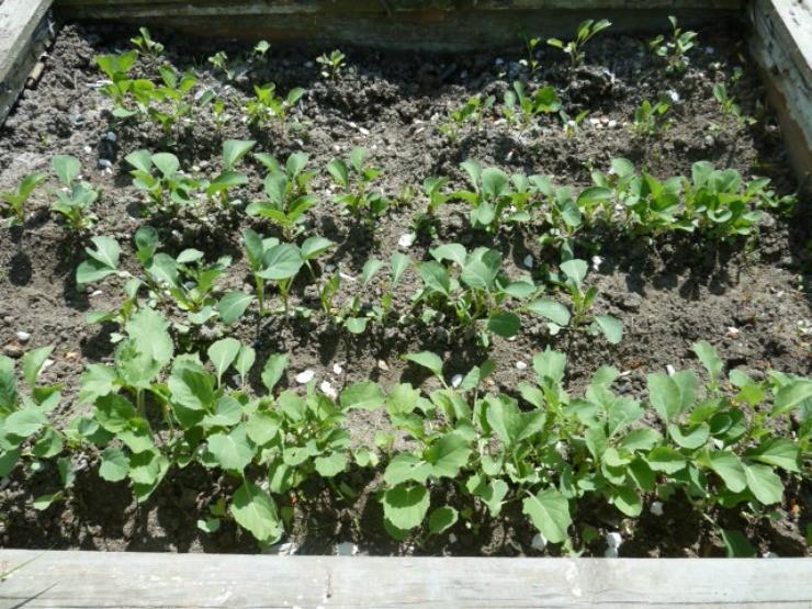 рассада брюссельской капусты на тёплой грядке
