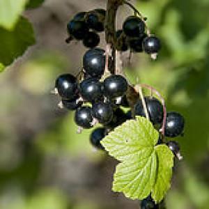 размножение черной смородины семенами