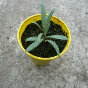 выращивание годжи