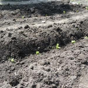 выращивание черешкового сельдерея