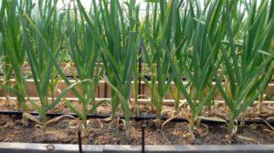 выращивание чеснока из бульбочек