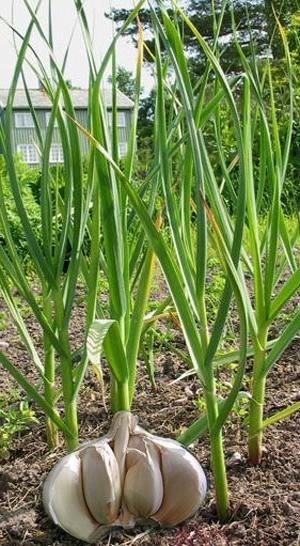 растения чеснока на грядке