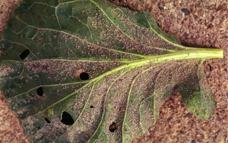 тля на листе капусты