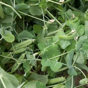 растения сидераты