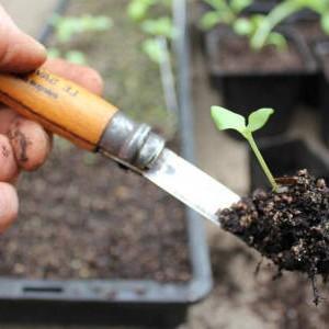 пикировка растений