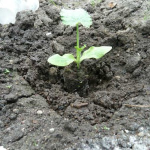 выращивание рассады кабачка
