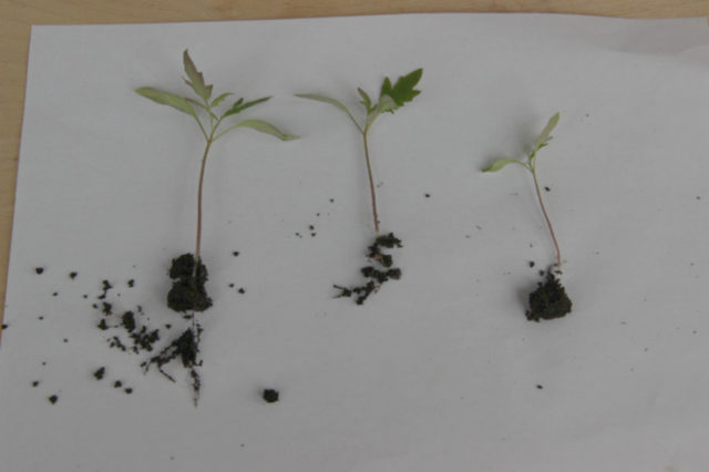 сеянцы томата перед пикировкой