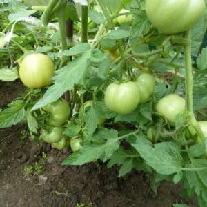 почему не завязываются томаты