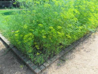 Как вырастить укроп на огороде