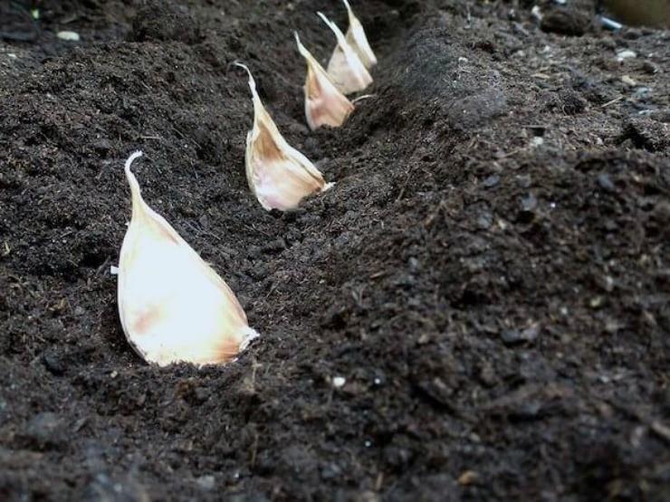 посадка зубков чеснока