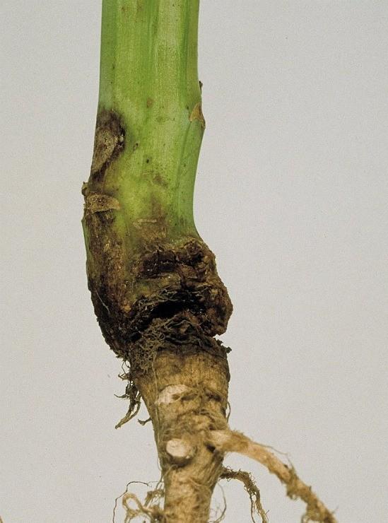 чёрная ножка у рассады томатов