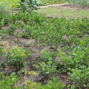 грядки корневого сельдерея