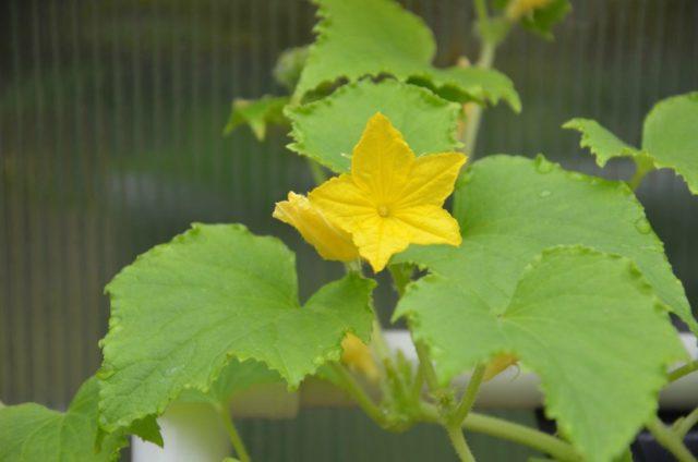 огурец цветёт