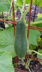 Выращивание огурцов в теплице - полное руководство для начинающих