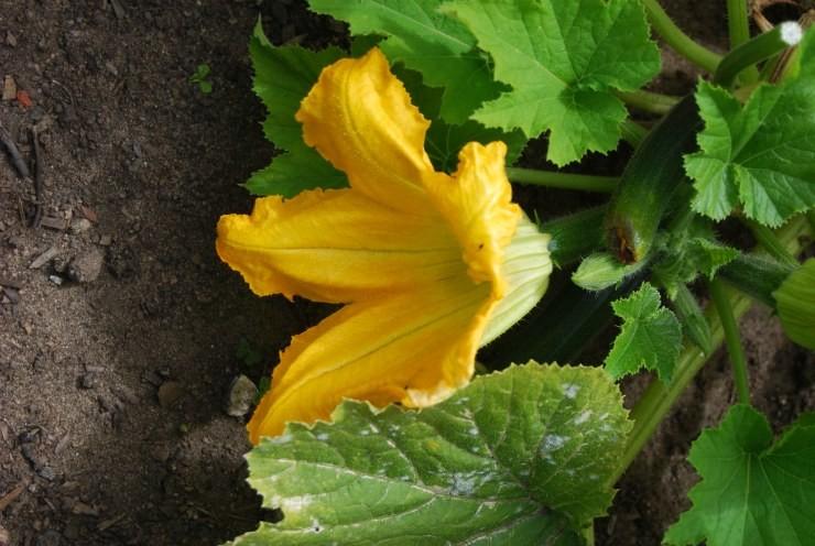 цветущий кабачок