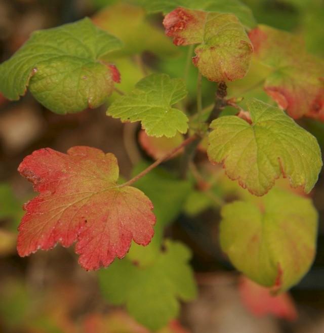 красные листья на смородине