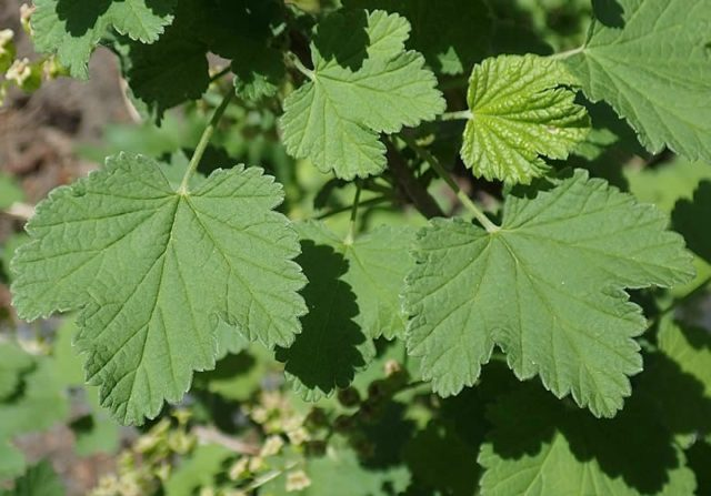 листья смородины с белой каймой