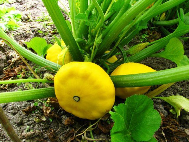 желтоплодный патиссон