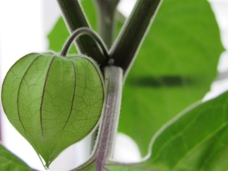 плод физалиса на ветке