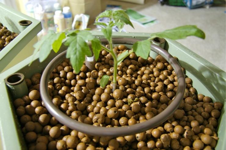 сеянец томата растёт на керамзите