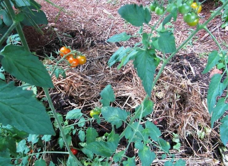томаты на компостной куче