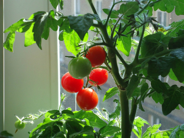 томаты на окне
