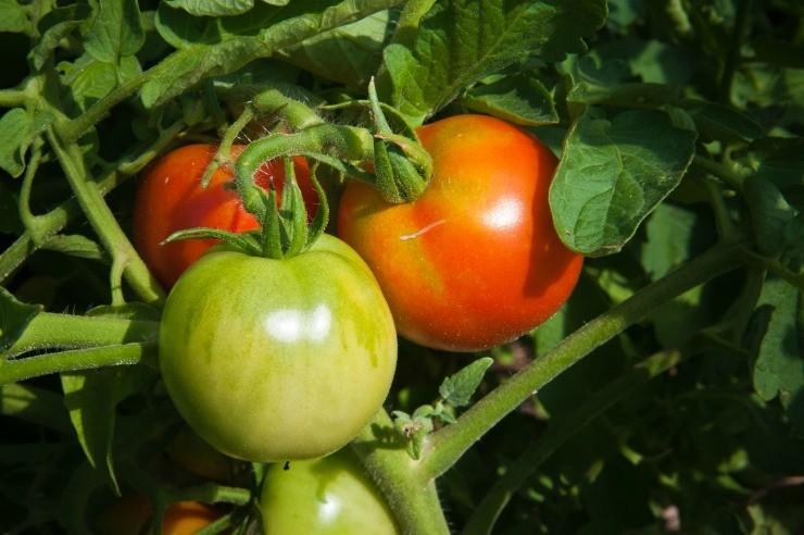 урожай томатов на компостной куче