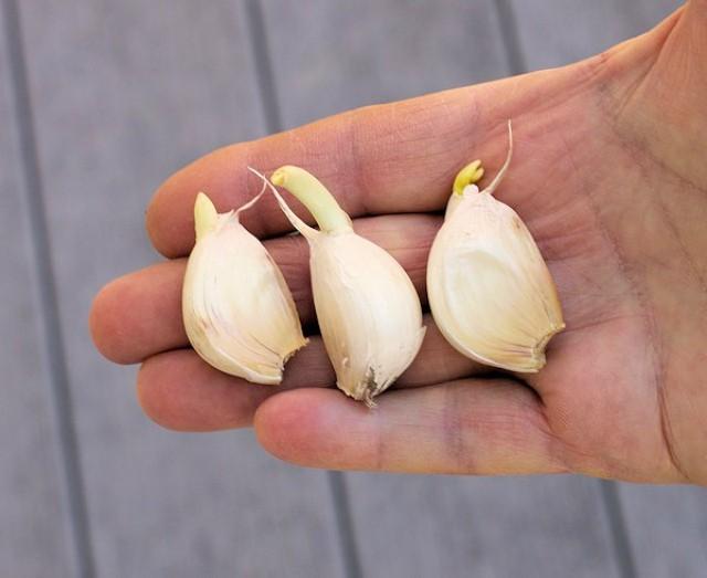 зубки чеснока с ростками