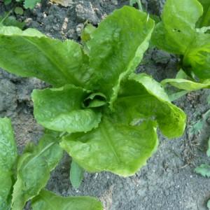 выращивание эндивия
