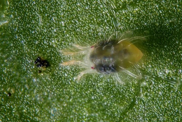 паутинный клещ на листике