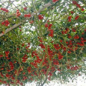 помидор дерево