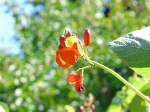 выращивание вьющейся фасоли